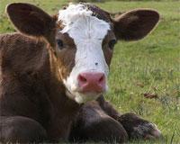 Vache Bovin