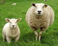 Mouton cloture electrique